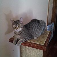Adopt A Pet :: Bunny - Centerton, AR