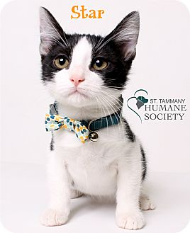 Domestic Shorthair Kitten for adoption in Covington, Louisiana - Star
