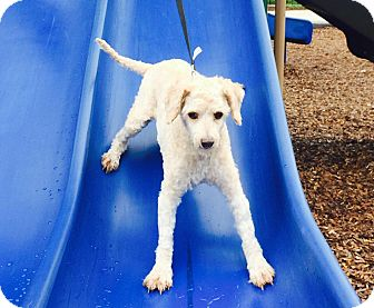 Miniature Poodle Mix Dog for adoption in Houston, Texas - Andy