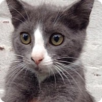 Adopt A Pet :: Marshmallow - Whitestone, NY