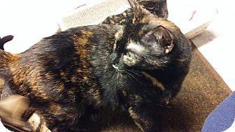Domestic Shorthair Cat for adoption in Diamond Springs, California - Bitsy