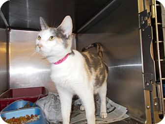 Domestic Shorthair Cat for adoption in Copperas Cove, Texas - Crystal