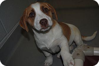 Shepherd (Unknown Type) Mix Puppy for adoption in Lafayette, New Jersey - Kanga