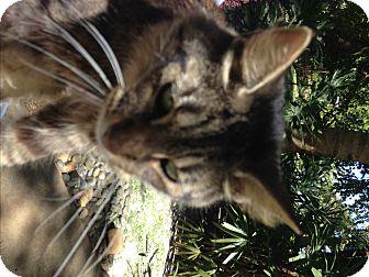 Domestic Longhair Cat for adoption in Naples, Florida - Anastasia
