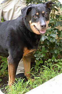 Rottweiler Mix Dog for adoption in LAFAYETTE, Louisiana - DENALI