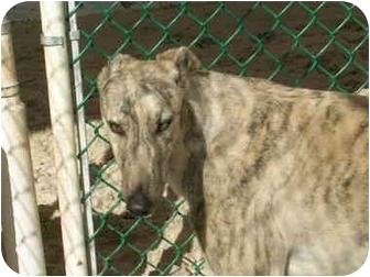 Greyhound Dog for adoption in St Petersburg, Florida - Cobra