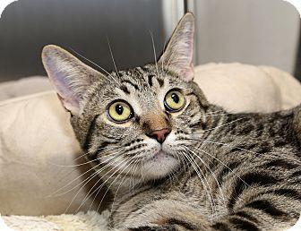 Ocicat Cat for adoption in Yorba Linda, California - Ashley