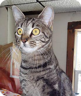 Domestic Shorthair Cat for adoption in N. Billerica, Massachusetts - Stella