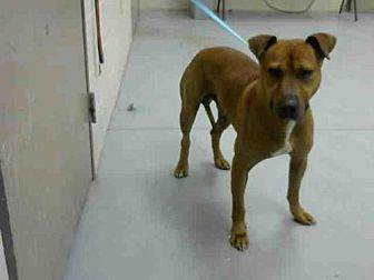 Staffordshire Bull Terrier/Boxer Mix Dog for adoption in Conroe, Texas - VICTOR