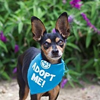 Miniature Pinscher Dog for adoption in Pacific Grove, California - Izzy Min Pin
