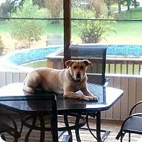 Adopt A Pet :: Marley - Franklin, TN