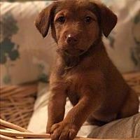 Adopt A Pet :: GODIVA-ADOPTION PENDING - Cranston, RI