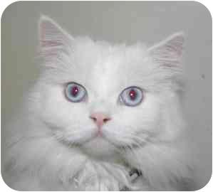 Persian Cat for adoption in tucson, Arizona - Pierce Brosnan