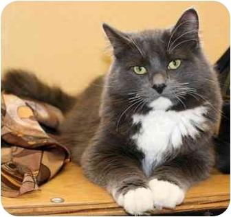 Domestic Longhair Cat for adoption in Phoenix, Oregon - T.J.