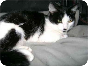 Domestic Shorthair Cat for adoption in Etobicoke, Ontario - Lily