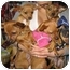 Photo 1 - Chihuahua Puppy for adoption in Poway, California - 5 CHIHUAHUA PUPPIES