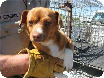 Chihuahua Mix Dog for adoption in Sulphur, Oklahoma - Red