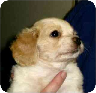 Cocker Spaniel/Spaniel (Unknown Type) Mix Puppy for adoption in Kingwood, Texas - Cherokee