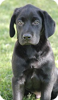 Labrador Retriever Mix Puppy for adoption in Yuba City, California - Cody