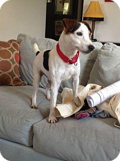 Jack Russell Terrier Dog for adoption in San Antonio, Texas - Brady in Austin