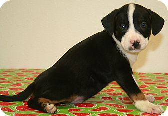 American Pit Bull Terrier/Labrador Retriever Mix Puppy for adoption in Westminster, Colorado - Vodka