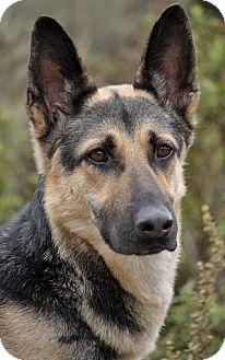 German Shepherd Dog Dog for adoption in Los Angeles, California - Nikko von Niederdorf