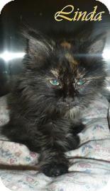 Domestic Longhair Kitten for adoption in Georgetown, South Carolina - Linda