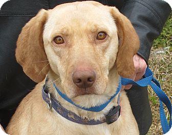 Labrador Retriever Mix Dog for adoption in Brattleboro, Vermont - Lacie