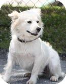 Spaniel (Unknown Type)/Spitz (Unknown Type, Medium) Mix Dog for adoption in Portland, Maine - Snowflake-Reduced Fee!