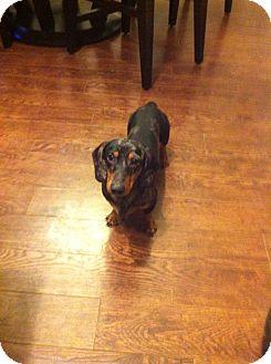 Dachshund Dog for adoption in London, Ontario - Arthur