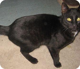 Bengal Cat for adoption in Dallas, Texas - Ziggy