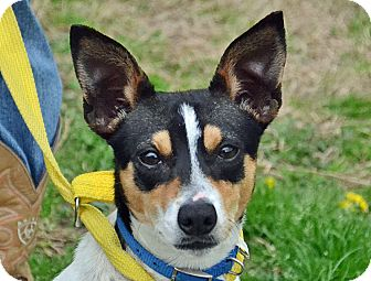 Rat Terrier Mix Dog for adoption in Searcy, Arkansas - Caleb