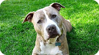 American Bulldog/Pit Bull Terrier Mix Dog for adoption in Fountain Valley, California - Grover