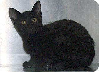 Domestic Shorthair Kitten for adoption in El Cajon, California - Goofy