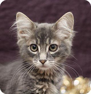 Domestic Mediumhair Cat for adoption in Sacramento, California - Harry