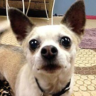 Chihuahua Mix Dog for adoption in Phoenix, Arizona - Bernie