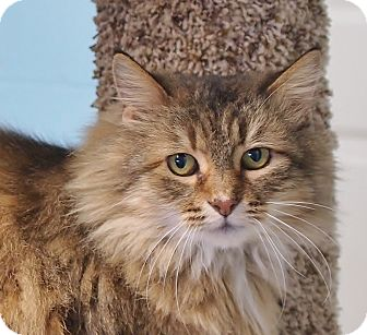 Domestic Mediumhair Cat for adoption in Ocean View, New Jersey - Lucy