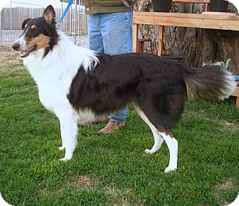 Collie Dog for adoption in Stephenville, Texas - Eli