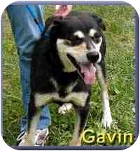 German Shepherd Dog Mix Dog for adoption in Aldie, Virginia - Gavin