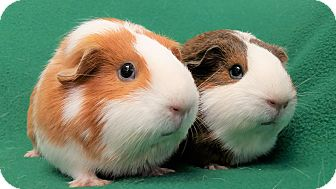 Guinea Pig for adoption in Lewisville, Texas - Eleanor and London