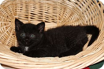 Domestic Shorthair Kitten for adoption in Knoxville, Tennessee - Avery