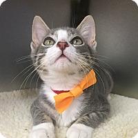 Adopt A Pet :: Popsicle - Secaucus, NJ
