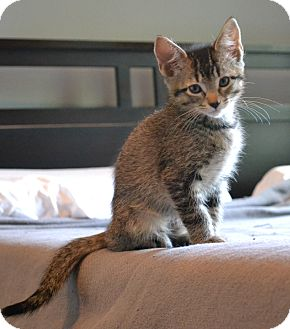 Domestic Shorthair Kitten for adoption in Homewood, Alabama - Bowie