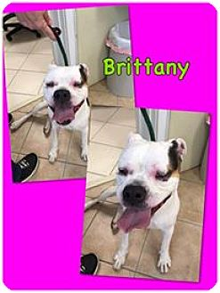 American Bulldog Mix Dog for adoption in Middletown, New York - Brittany