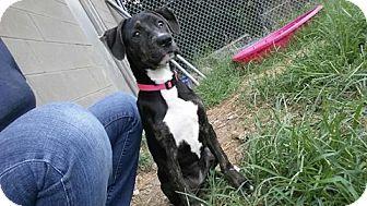 Hound (Unknown Type)/Labrador Retriever Mix Dog for adoption in Glenpool, Oklahoma - Paisley