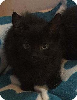Domestic Shorthair Kitten for adoption in Tampa, Florida - Seth