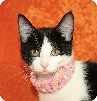 Domestic Shorthair Kitten for adoption in Jackson, Michigan - Cindy