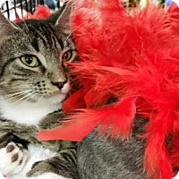 Domestic Shorthair Cat for adoption in Houston, Texas - Brody