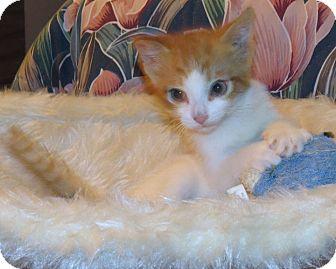 Domestic Shorthair Kitten for adoption in Rochester, New York - River