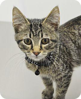 Domestic Shorthair Kitten for adoption in Springfield, Illinois - Benelli
